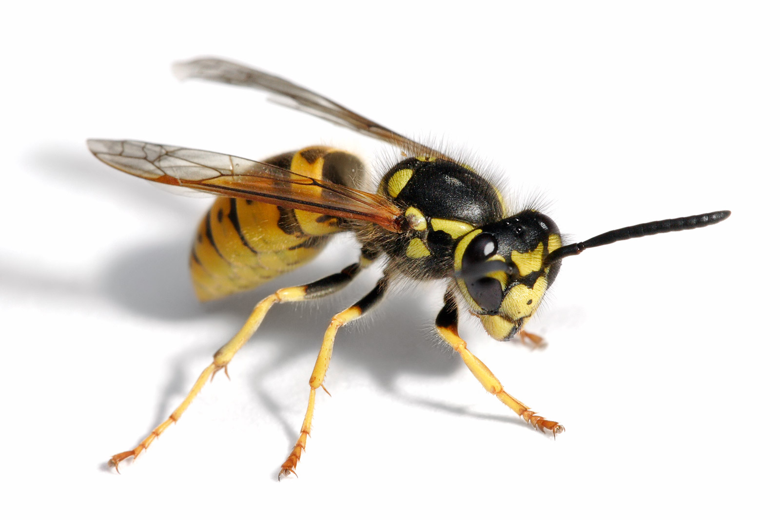 Control Wasps Hornets And Yellowjackets How To Build A House