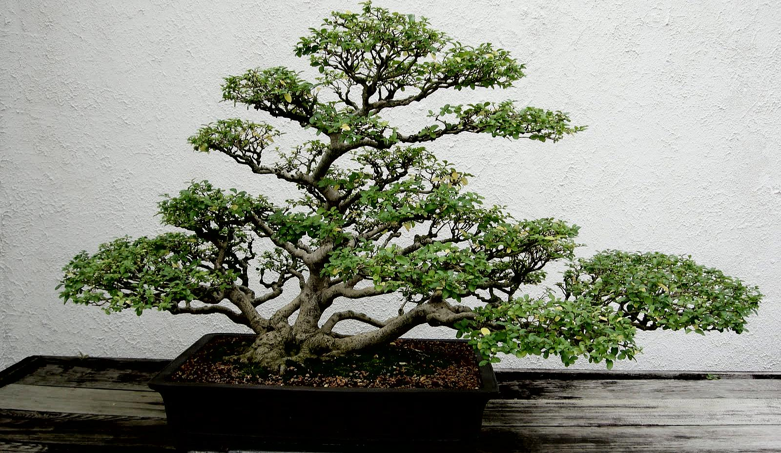 A symbol of harmony and elegance bonsai how to build a for Most expensive bonsai tree ever